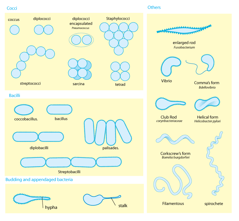 Bacteria in drinking water h2o distributors bacteria morphology ccuart Images